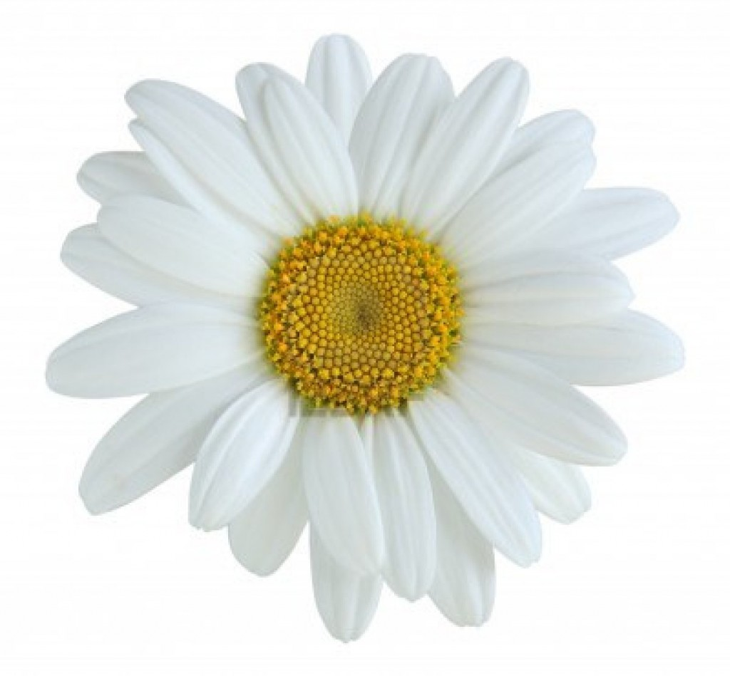 Daisy Flower Types Of Daisies Theflowerexpert 3404268